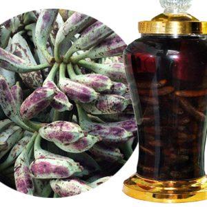 Rượu-chuối-hột-rừng quả
